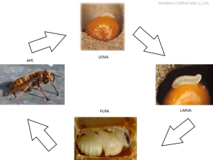 ciclo di vita ape